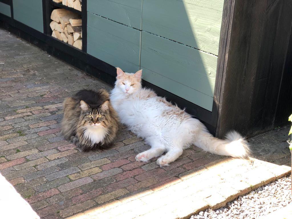 Maine Coon katten