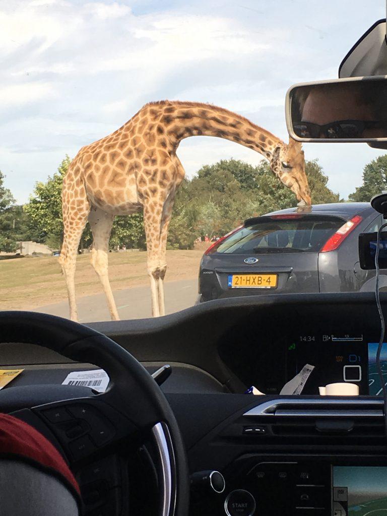 met de auto door Safaripark Beekse Bergen
